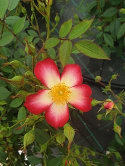 Rose Star Profusion