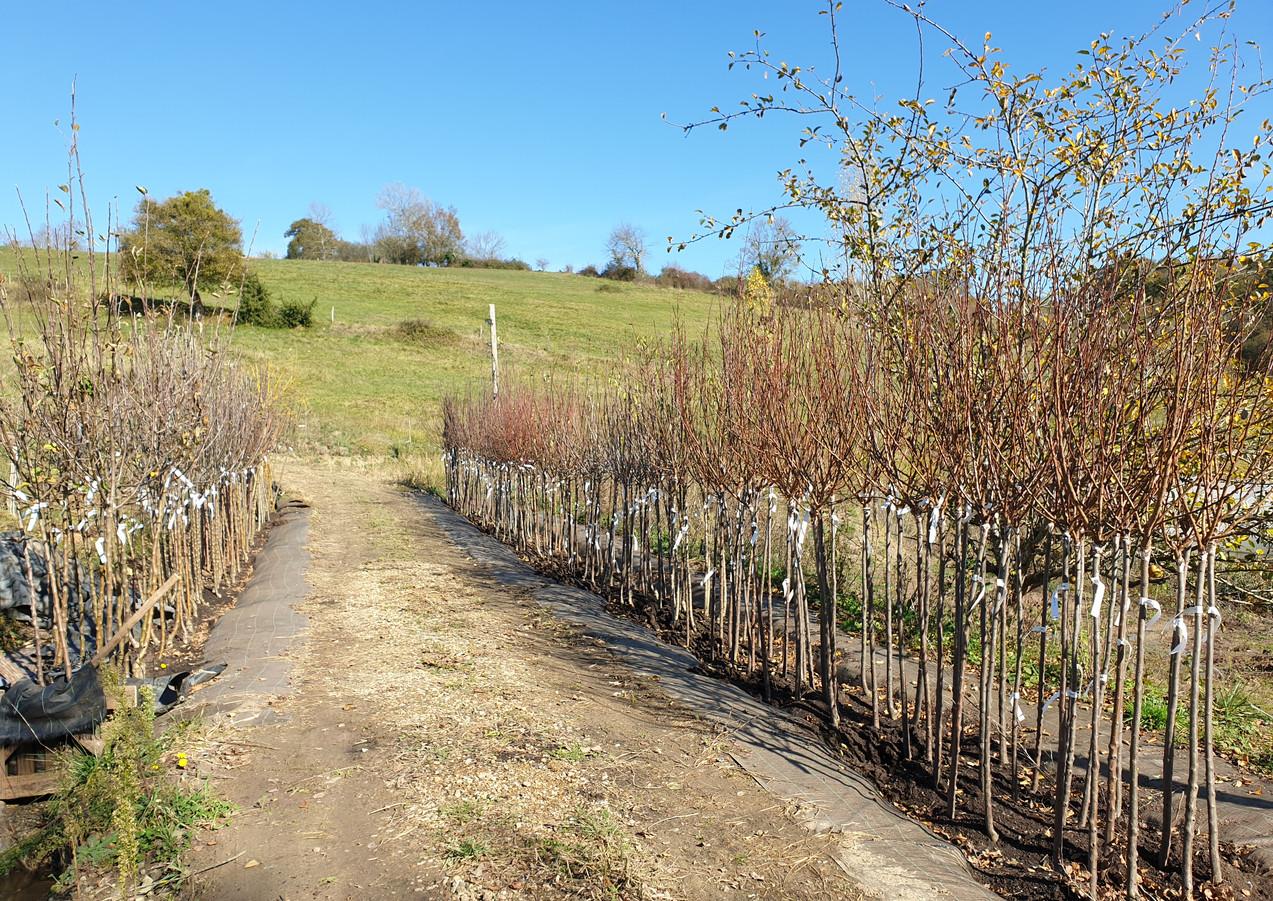 Arbres fruitiers en racines nues