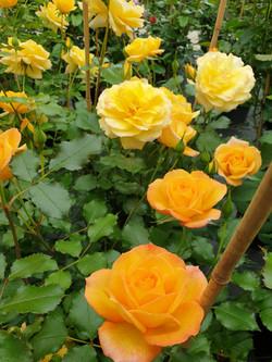 Roses Sahara