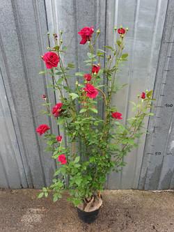 Rosier Red Parfum Grimpant pot 7,5 litres