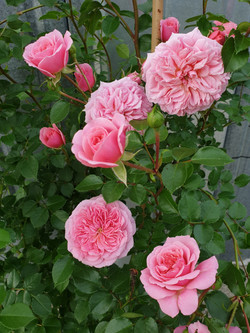 Rose Pirouette