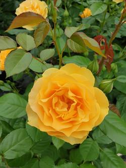 Rose Anisade