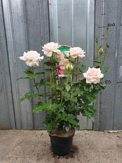 Rosier Sweet Love pot 5 litres