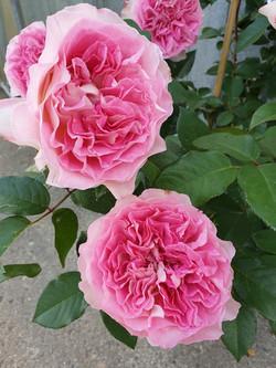 Rose Bornéo Odore