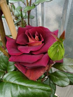 Rose Eddy Mitchell