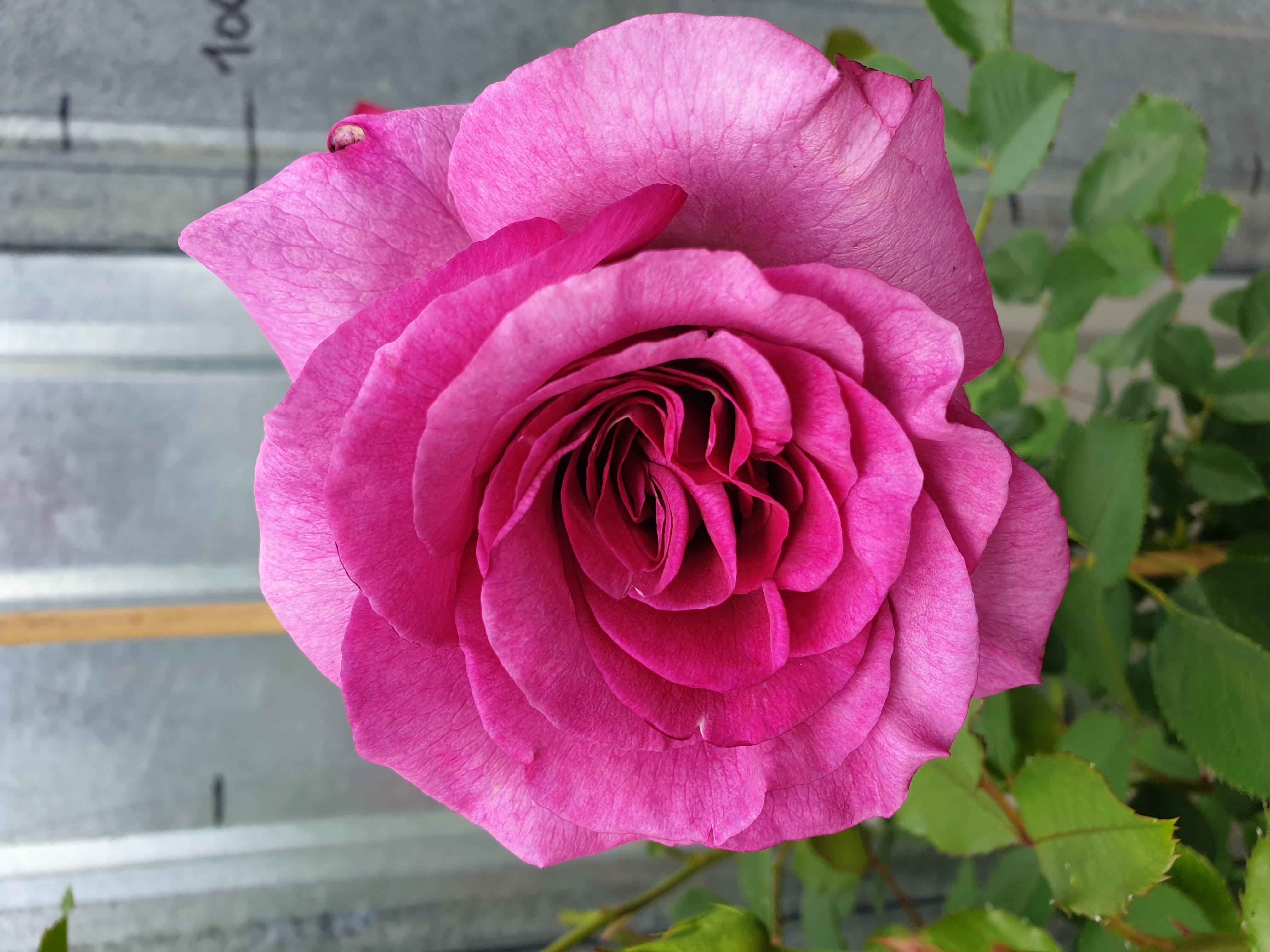 Rose Violette Parfumé