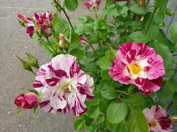Roses Purple Splash