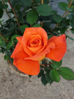 Rose Super Trouper