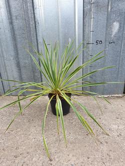 Yucca filamentosa Bright edge pot 3 lites