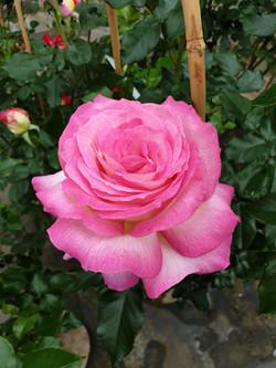 Rose Sweet Delight