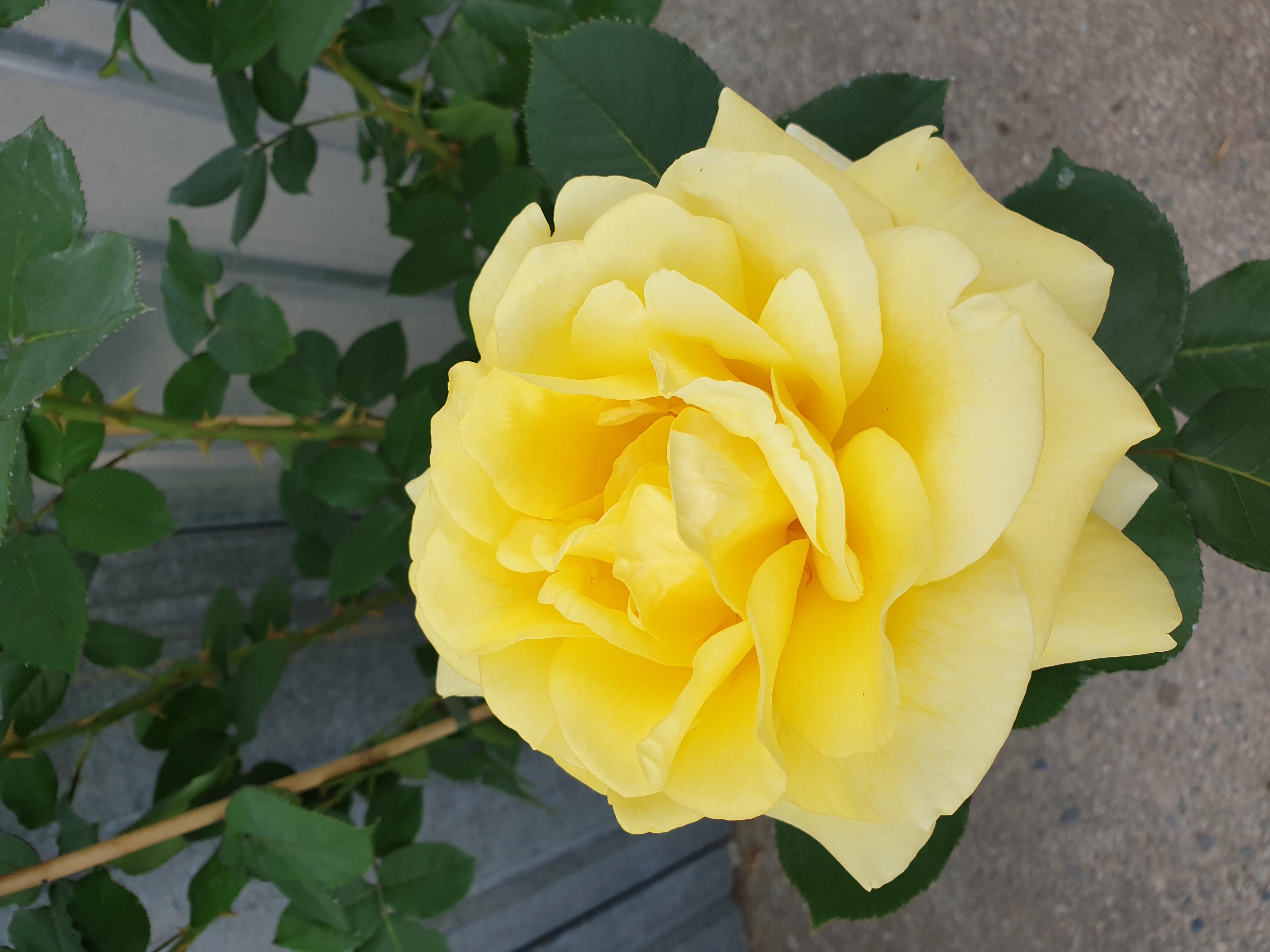 Rose Bernard Hinault