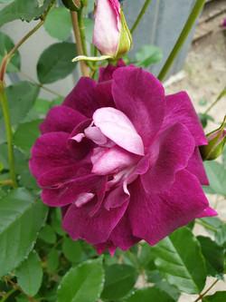Rose Burgundy Ice
