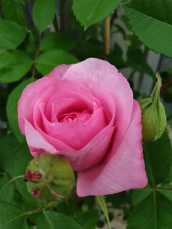 Rose Gertrude Jekill