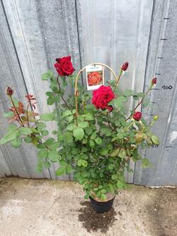 Rosier Grimpant Edith Piaf pot 7,5 litres