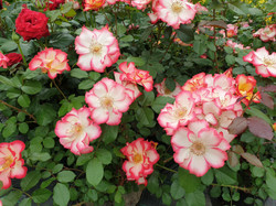 Rose Betty Boop