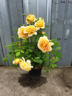 Rosier Golden Celebration pot 5 litres