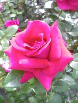 Rose Grimpant Le grand huit