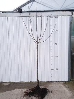 Arbres Fruitiers 1/2 Tige Racines nues