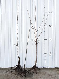 Arbres Fruitiers Racines nues Scions