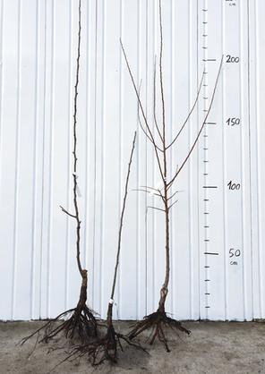 Arbres fruitiers en racines nues Scions