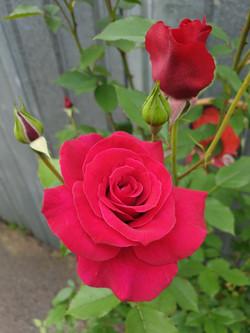 Rose Red Parfum