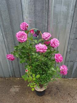 Rosier Violette Parfumé Grimpant pot 7,5 litres