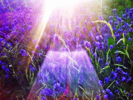 Veelzijdig lavendel