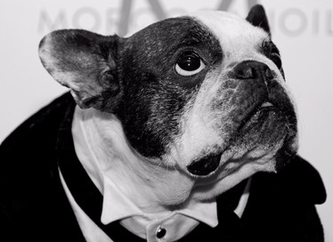 016B French Bulldog in Suit for Wedding.