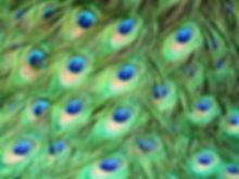 peacock-1660634_1280.jpg