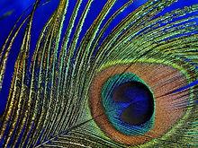 peacock-feather-3030524_1280.jpg