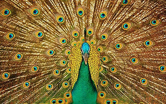 peacock-3098451_1280.jpg