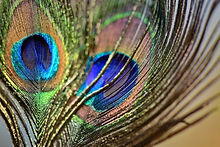 peacock-feathers-5027085_1280.jpg