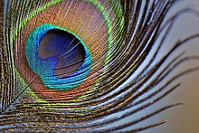 peacock-feathers-5011106_1280.jpg