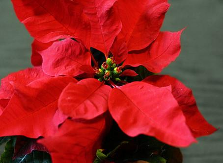 December Poinsettia Sale