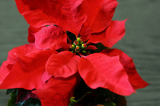 December Poinsettia Sale