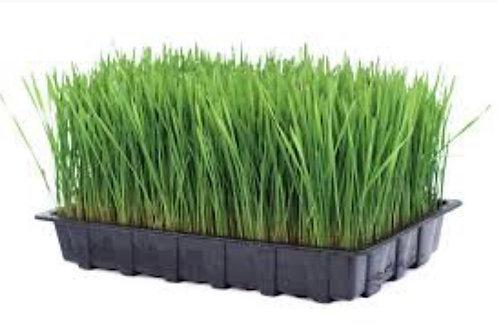 Organic wheat grass, 1 cases