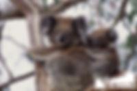 Mothers Touch - Koala 055.jpg