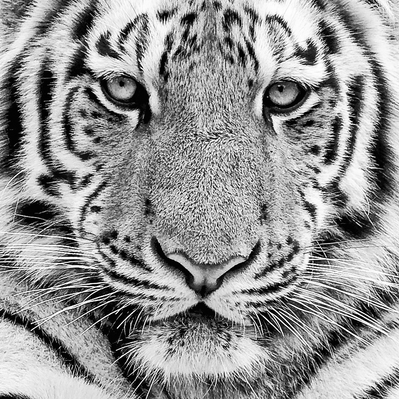 Motiv fra tiger plakat af Imagi