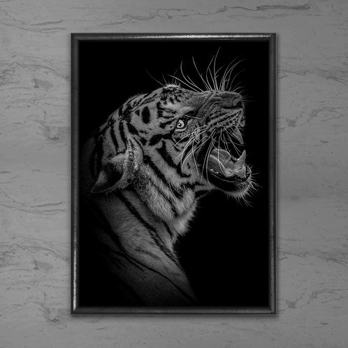 Tigeren - Plakat i sort-hvid