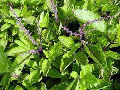 Tulsi - for the brain