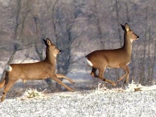 Die gesetzlichen Grundlagen der Wildfütterung in Hessen