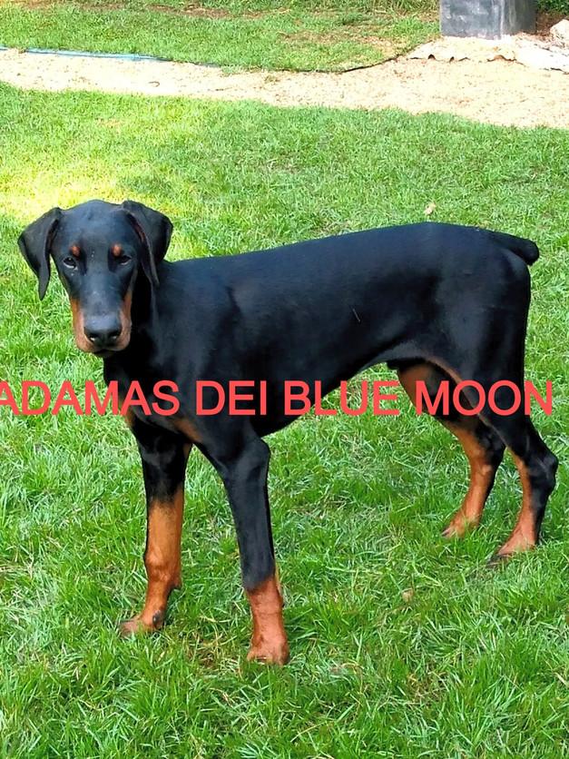 ADAMAS DEI BLUE MOON