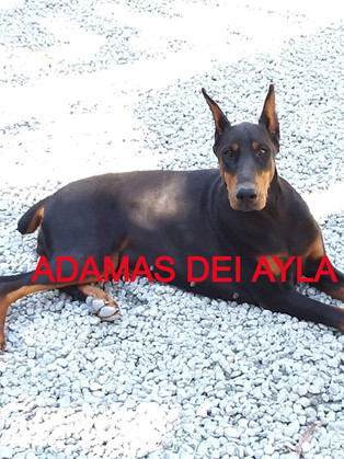 ADAMAS DEI AYLA