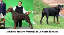 NINHADA DE DOBERMANNS 100% EUROPEUS AGO 2016 - CH PAN. CH BR. SANT KREAL MASTER X FRANCESCA DE LA MA