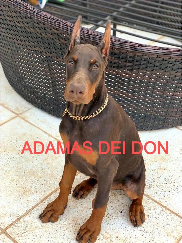 ADAMAS DEI DON