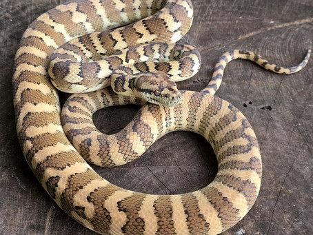 One of our Pos Triple het moonglows Is growing very well. This girl ate extremely well from day 1..☺