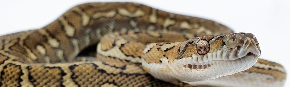 Hypo darwin, Bromies python,
