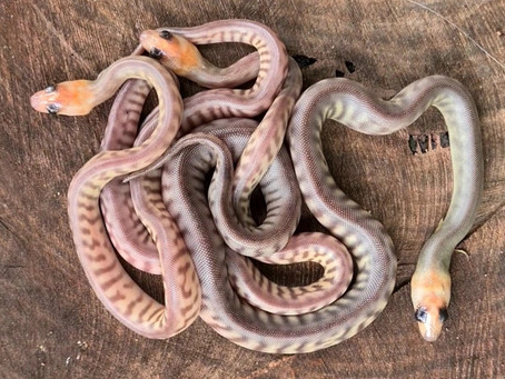 Silver woma's