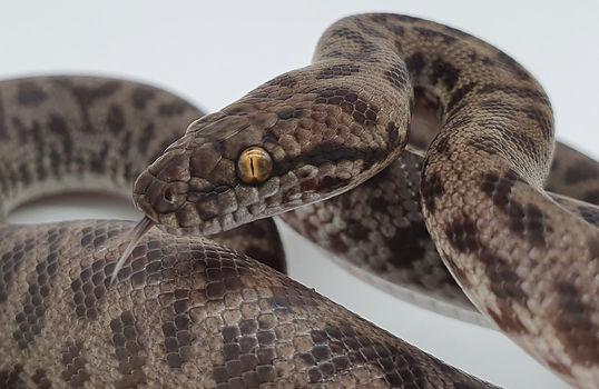 Spotted Python.jpg