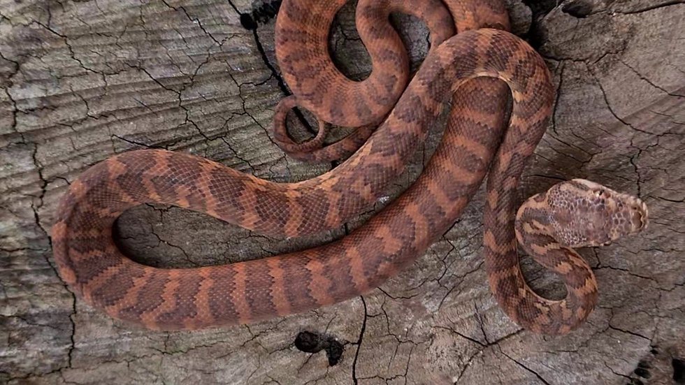 Het Hypo Darwins (pairs available)